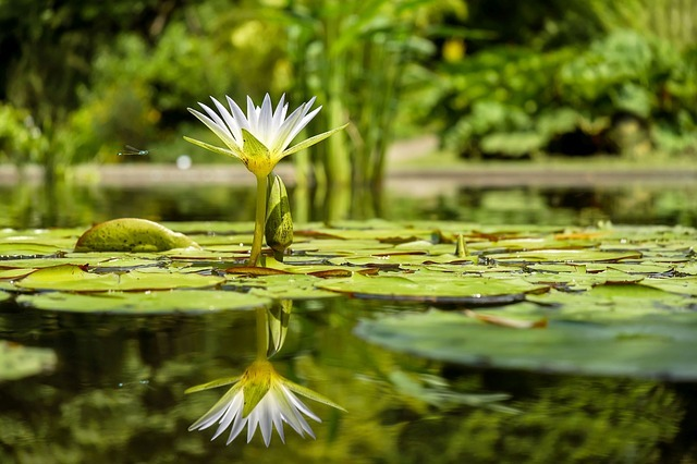 water-lily-1857350_640